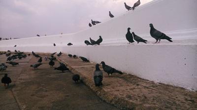 Pigeons at Wat Arun